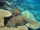 Clownfisch-Paar im Korallengarten, Malediven 2009