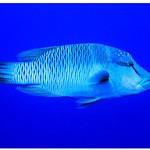 Napoleonfisch