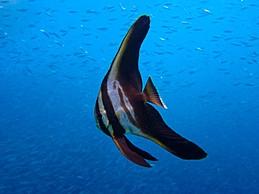 Juveniler Fledermausfisch