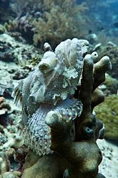 Weißer Skorpionfisch